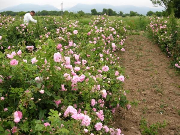 Долина с ароматом розы