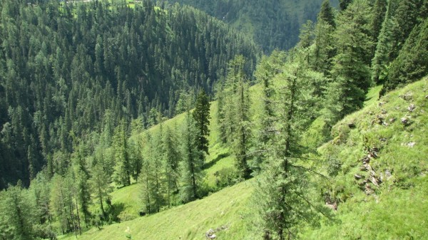 хвойный лес в Болгарии