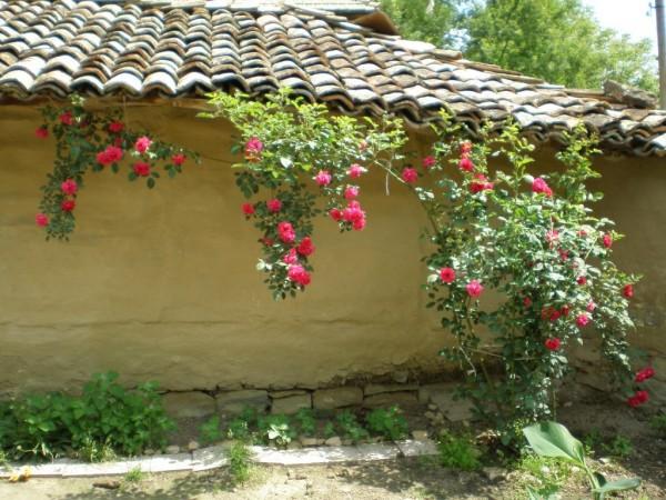 Роза на село